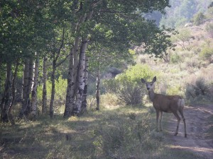 Deer by aspen grove in PR Springs campground.